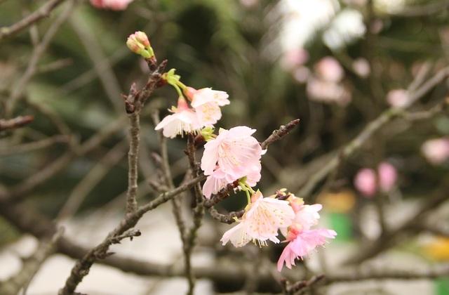 Ngắm hoa anh đào bung nở rực rỡ, khoe sắc trước Tết tại Hà Nội - 8
