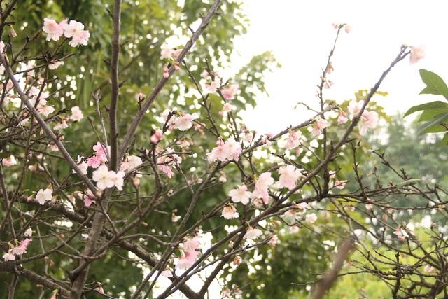 Ngắm hoa anh đào bung nở rực rỡ, khoe sắc trước Tết tại Hà Nội - 2