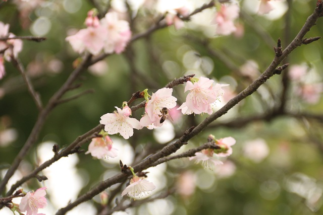 Ngắm hoa anh đào bung nở rực rỡ, khoe sắc trước Tết tại Hà Nội - 7