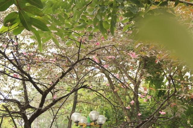 Ngắm hoa anh đào bung nở rực rỡ, khoe sắc trước Tết tại Hà Nội - 1