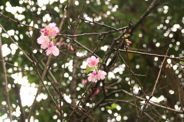 Ngắm hoa anh đào bung nở rực rỡ, khoe sắc trước Tết tại Hà Nội - 3