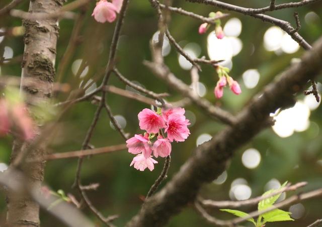 Ngắm hoa anh đào bung nở rực rỡ, khoe sắc trước Tết tại Hà Nội - 5