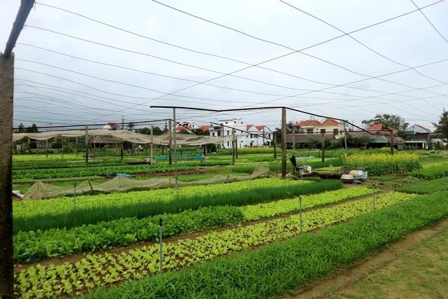 Vùng rau tết ở Quảng Nam