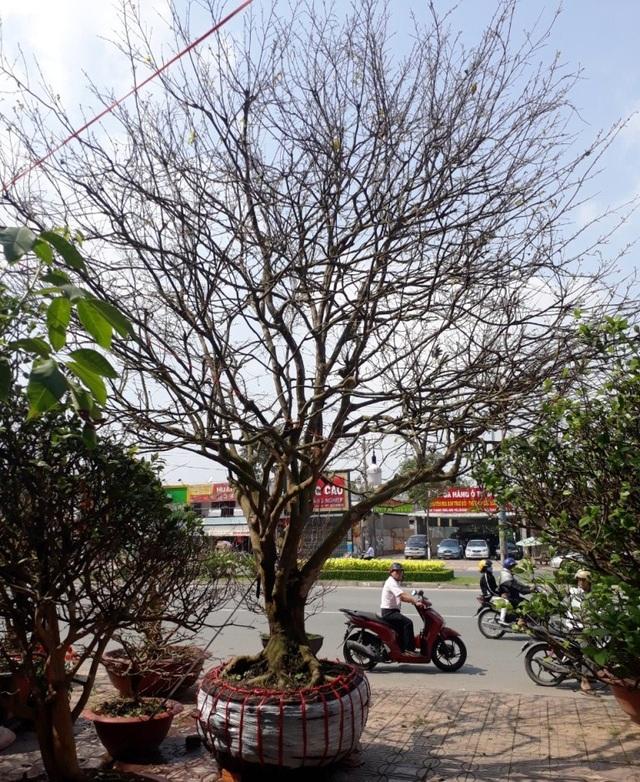 cây mai vàng cổ thụ cao 7 m, tán rộng 8 m, gốc to 1,2 m đang