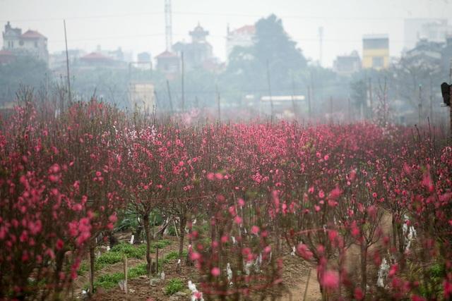 Vườn đào Nhật Tân đỏ rực những ngày giáp Tết - 1