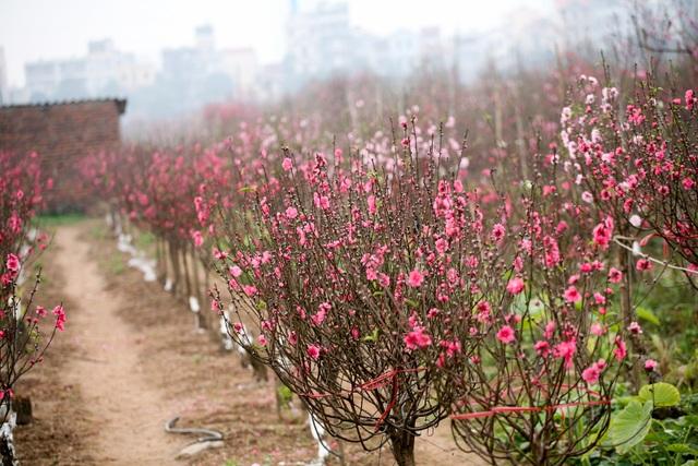 Vườn đào Nhật Tân đỏ rực những ngày giáp Tết - 7