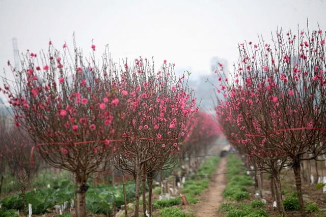 Vườn đào Nhật Tân đỏ rực những ngày giáp Tết - 8