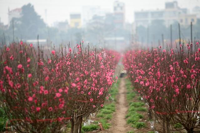 Vườn đào Nhật Tân đỏ rực những ngày giáp Tết - 5