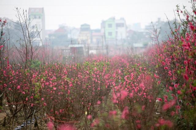 Vườn đào Nhật Tân đỏ rực những ngày giáp Tết - 12