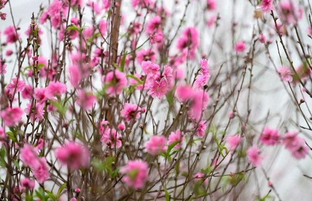 Vườn đào Nhật Tân đỏ rực những ngày giáp Tết - 3
