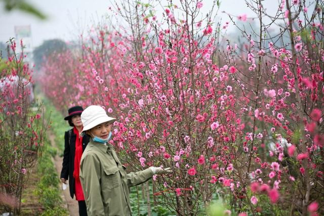 Vườn đào Nhật Tân đỏ rực những ngày giáp Tết - 6