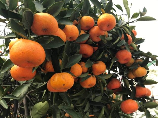 Ngắm cây quýt cổ thụ có 3 tạ quả, giá trăm triệu - 6