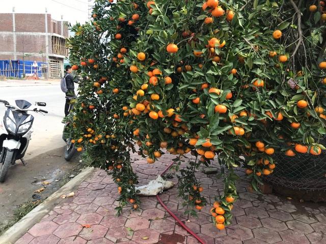Ngắm cây quýt cổ thụ có 3 tạ quả, giá trăm triệu - 2