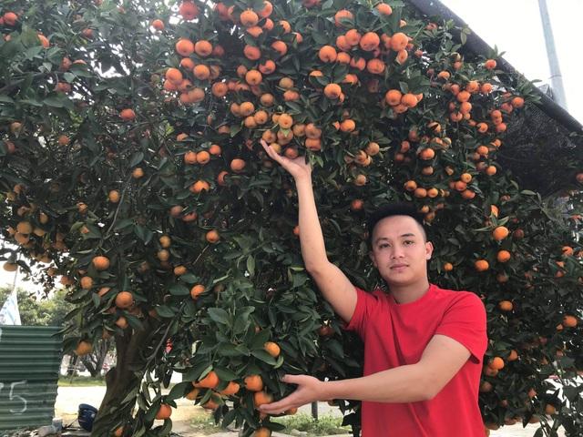 Ngắm cây quýt cổ thụ có 3 tạ quả, giá trăm triệu - 3