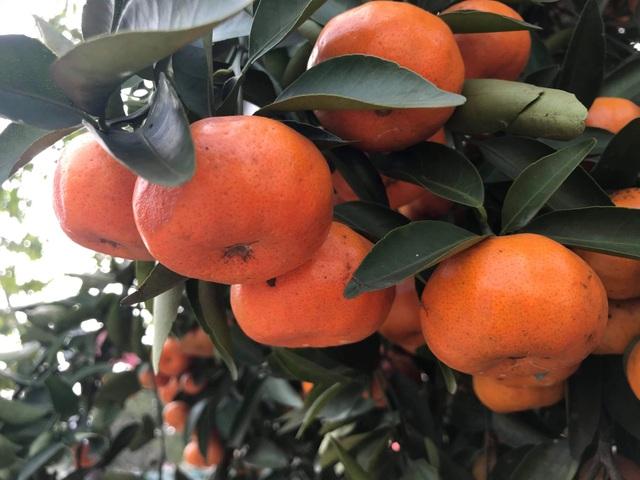 Ngắm cây quýt cổ thụ có 3 tạ quả, giá trăm triệu - 7