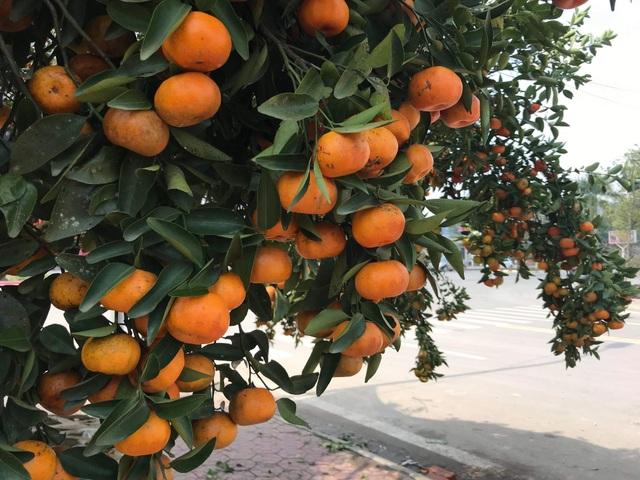 Ngắm cây quýt cổ thụ có 3 tạ quả, giá trăm triệu - 5