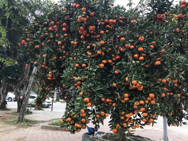 Ngắm cây quýt cổ thụ có 3 tạ quả, giá trăm triệu - 1