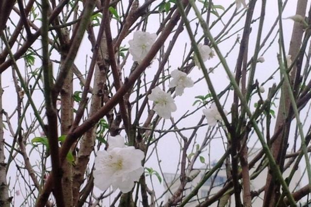 Cây hoa đào trắng tinh khôi hút khách ở chợ hoa xuân - 4