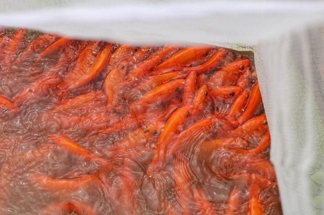 """""""Thủ phủ"""" cá chép đỏ xuất 50 tấn cá phục vụ ông Công ông Táo - 3"""