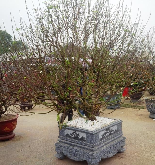 Cây hoa đào trắng tinh khôi hút khách ở chợ hoa xuân - 1