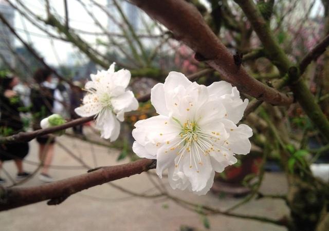 Cây hoa đào trắng tinh khôi hút khách ở chợ hoa xuân - 3