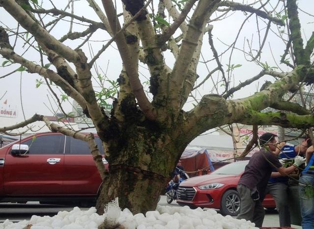 Cây hoa đào trắng tinh khôi hút khách ở chợ hoa xuân - 9