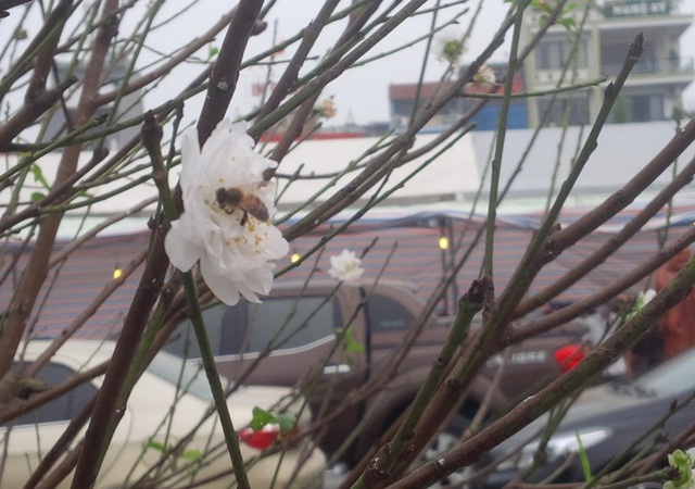 Cây hoa đào trắng tinh khôi hút khách ở chợ hoa xuân - 8