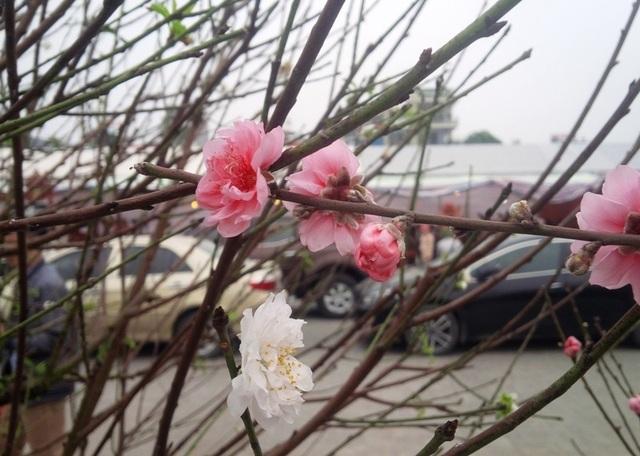 Cây hoa đào trắng tinh khôi hút khách ở chợ hoa xuân - 5