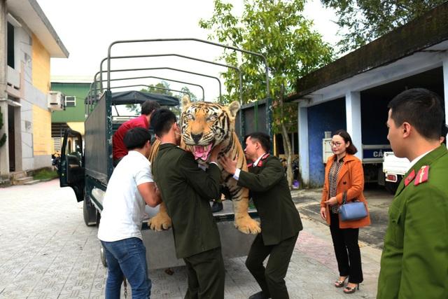 Chuyển giao hổ Bengal nhồi bông cho Bảo tàng Thiên nhiên - 3