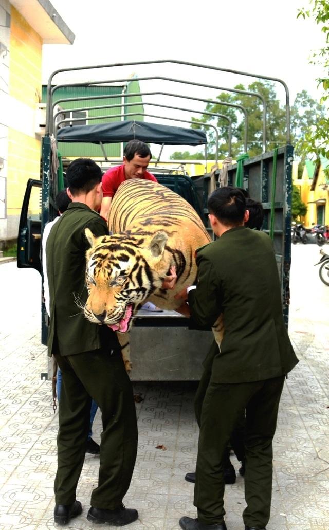 Chuyển giao hổ Bengal nhồi bông cho Bảo tàng Thiên nhiên - 2