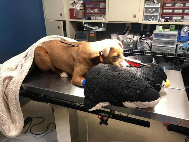 Bị mũi tên xuyên từ đầu đến lưng, chú chó vẫn may mắn sống sót - 3