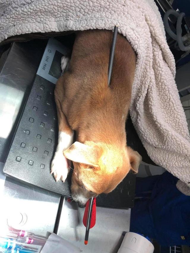 Bị mũi tên xuyên từ đầu đến lưng, chú chó vẫn may mắn sống sót - 4