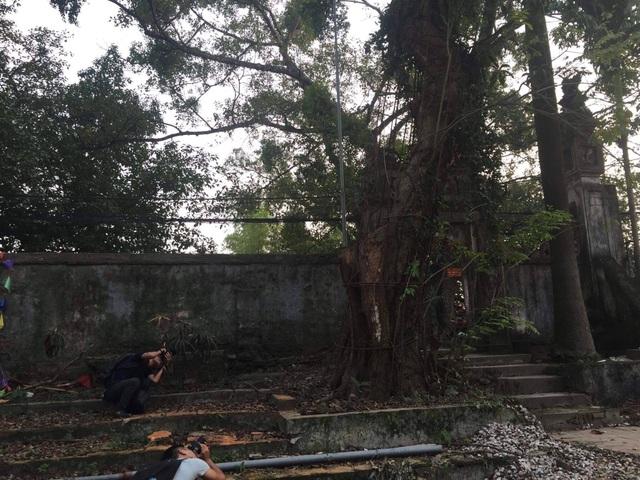 Hà Nội: Chặt hạ cây sưa đỏ 100 năm tuổi bên cạnh cây sưa trăm tỷ - 3