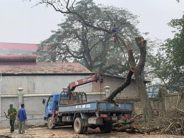 Hà Nội: Chặt hạ cây sưa đỏ 100 năm tuổi bên cạnh cây sưa trăm tỷ - 4