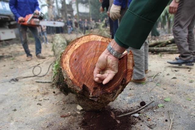 Hà Nội: Chặt hạ cây sưa đỏ 100 năm tuổi bên cạnh cây sưa trăm tỷ - 7