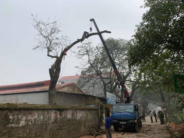 Hà Nội: Chặt hạ cây sưa đỏ 100 năm tuổi bên cạnh cây sưa trăm tỷ - 5
