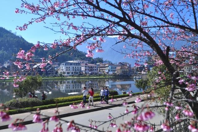Hoa anh đào Nhật khoe sắc tuyệt đẹp dưới chân núi Fansipan - 1