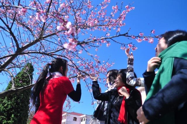 Hoa anh đào Nhật khoe sắc tuyệt đẹp dưới chân núi Fansipan - 2