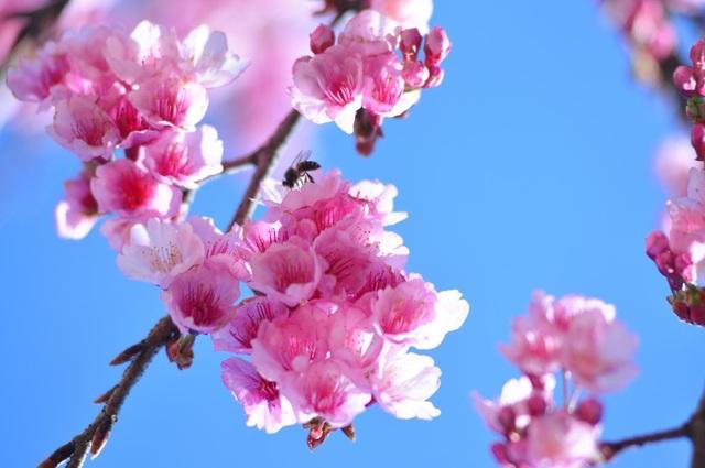 Hoa anh đào Nhật khoe sắc tuyệt đẹp dưới chân núi Fansipan - 3