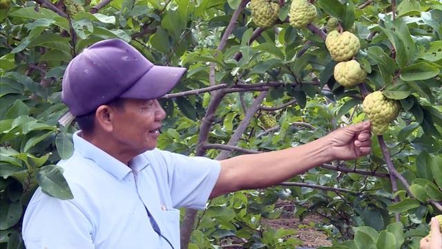 Giáp Tết, nông dân thu hàng trăm triệu đồng từ trái mãng cầu ta trái vụ - 1