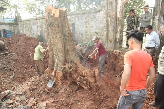 Cận cảnh buổi chặt hạ cây sưa trăm tỷ ở Hà Nội - 2