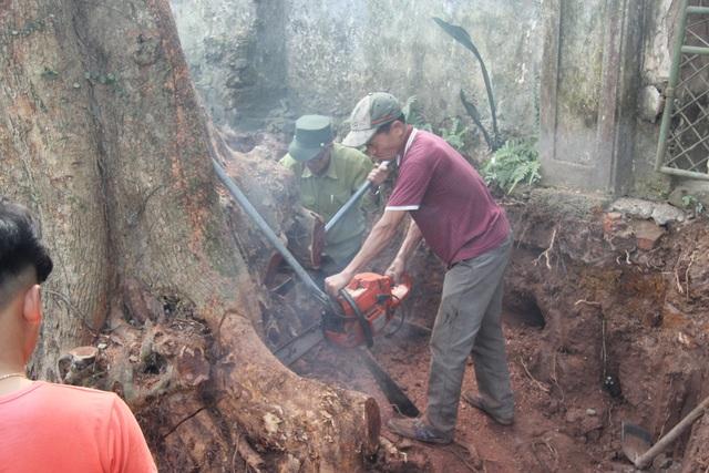 Cận cảnh buổi chặt hạ cây sưa trăm tỷ ở Hà Nội - 1