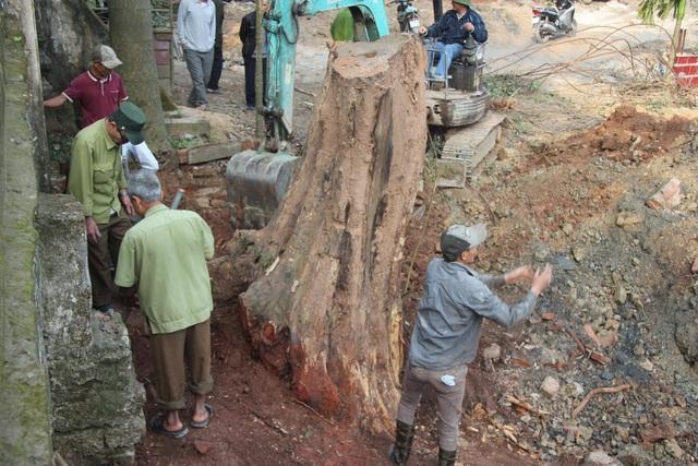 Cận cảnh buổi chặt hạ cây sưa trăm tỷ ở Hà Nội - 5