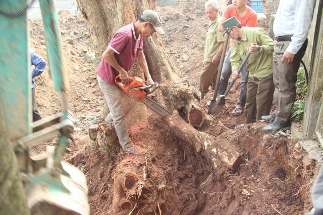 Cận cảnh buổi chặt hạ cây sưa trăm tỷ ở Hà Nội - 4