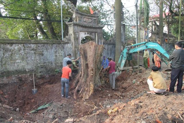 Cận cảnh buổi chặt hạ cây sưa trăm tỷ ở Hà Nội - 6