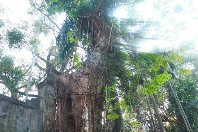Cận cảnh buổi chặt hạ cây sưa trăm tỷ ở Hà Nội - 9