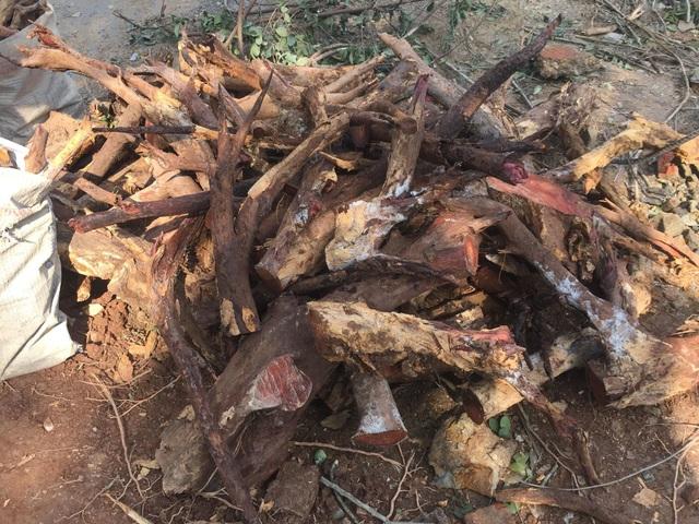 Cận cảnh buổi chặt hạ cây sưa trăm tỷ ở Hà Nội - 11