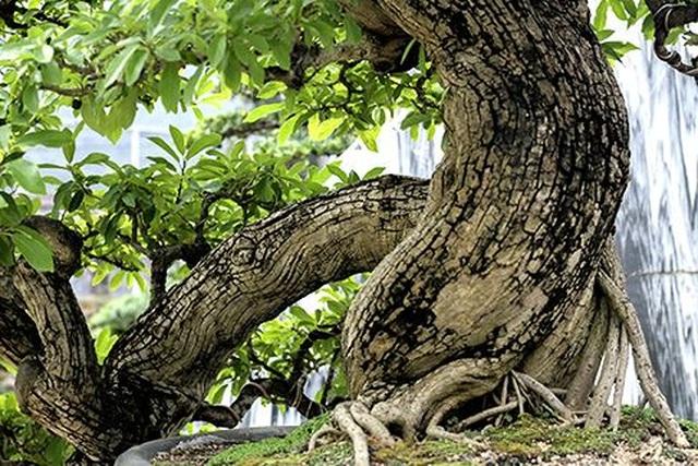 Ngắm vườn bonsai cực chất giá trăm tỷ đồng ở Bình Định - 2