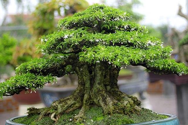 Ngắm vườn bonsai cực chất giá trăm tỷ đồng ở Bình Định - 4