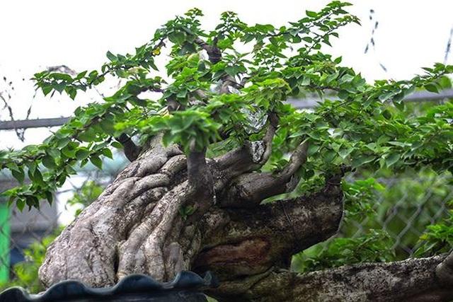 Ngắm vườn bonsai cực chất giá trăm tỷ đồng ở Bình Định - 6